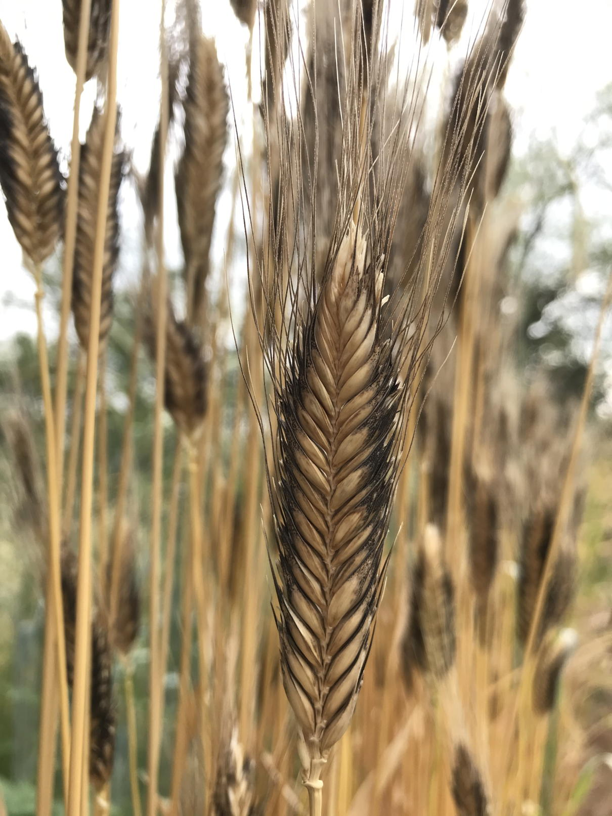 Black and Tan Naked Einkorn